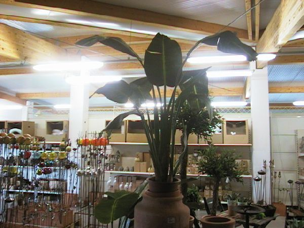 Bananenbaum mit 13 Blättern GRUEN 130cm
