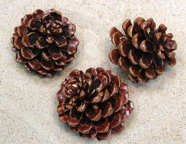 Pinea Zapfen lackiert BEUTEL 100St. klein