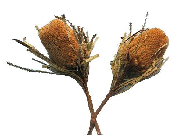Banksia Hookeriana GELB 48 30St.