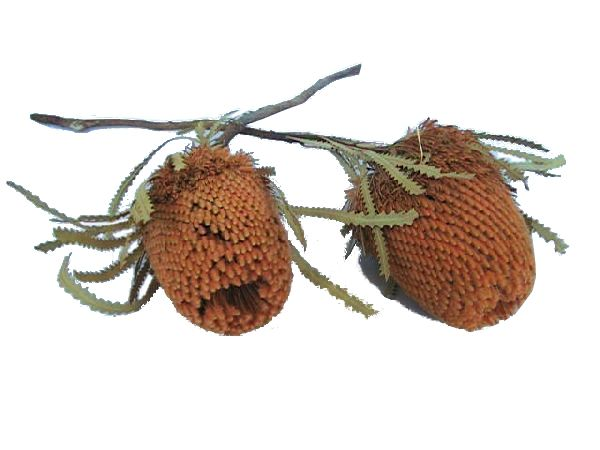 Banksia Hookeriana APRICOT 16 30St.