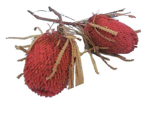 Banksia Hookeriana FUCHSIA 32 30St.