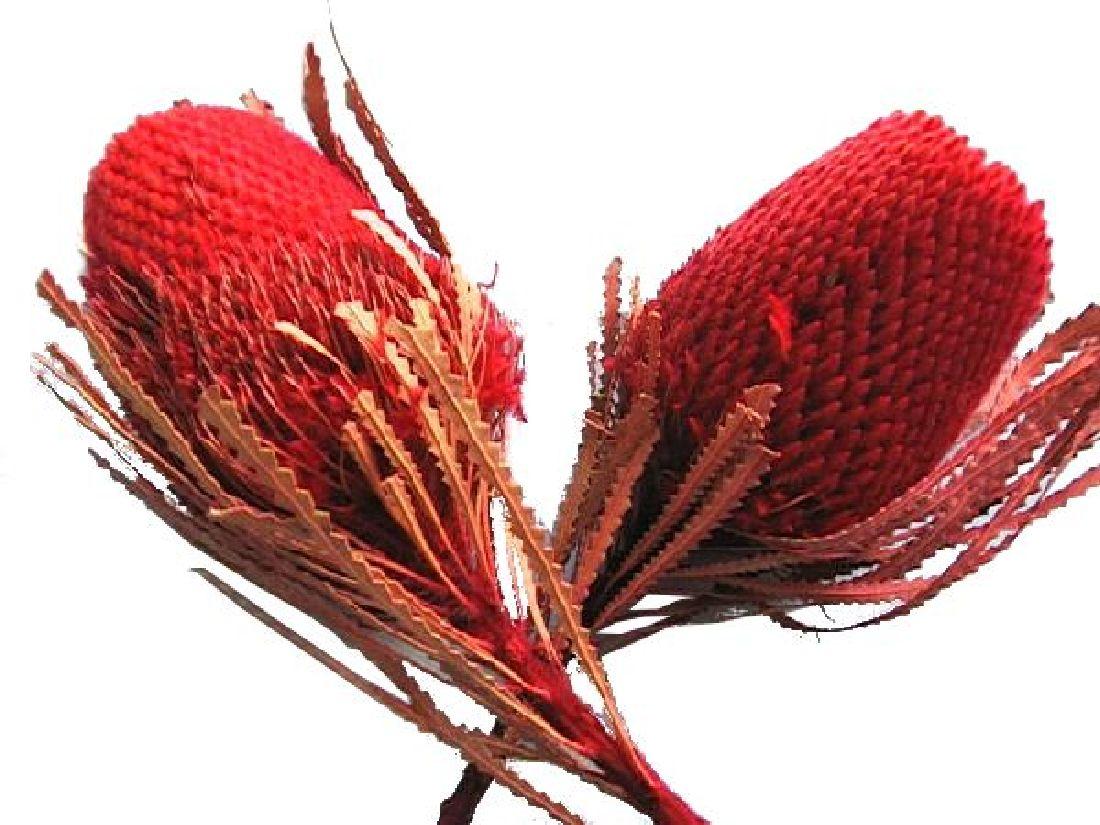 Banksia Hookeriana ROT 11 30St.
