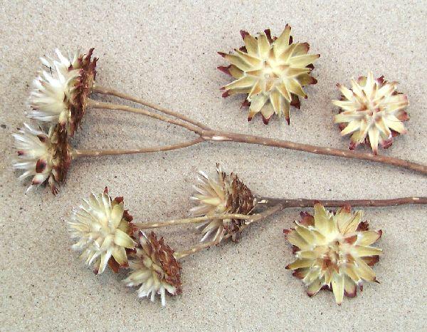 Leucospernum Plumosum NATUR 3 Köpfe
