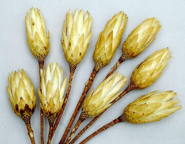 Protea Repens CREME 100 St.creme