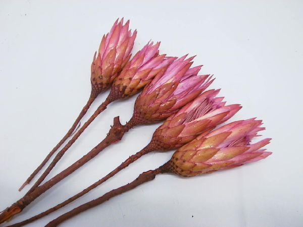 Protea Repens PINK 100 Stück