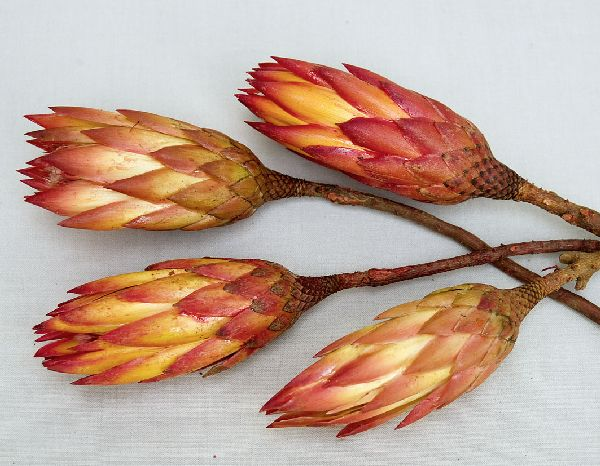 Protea Repens ROT 100 St.red