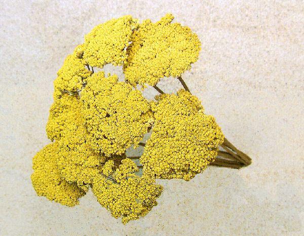 Achillea kultiviert GELB-natur 1kg.