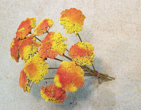Achillea kultiviert ROT-GELB 1kg.