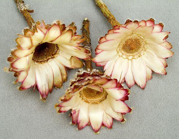 Protea Barbigera NATUR 25St. Kelch
