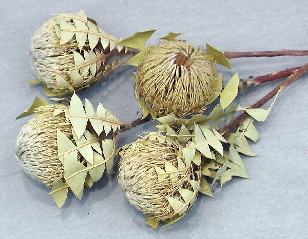 Banksia Baxterii NATUR 30St.