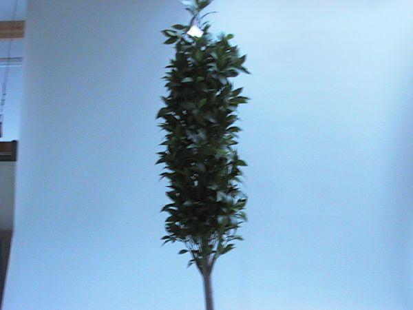 Lorbeerbaum GRÜN 60*170 cm pyramide