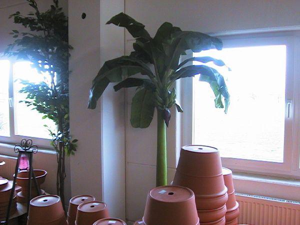 Bananen Baum GRÜN 360cm