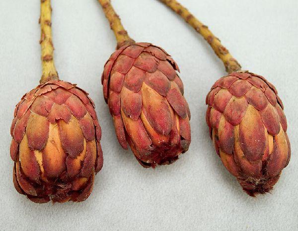 Protea Grandiceps ROT 25Stück
