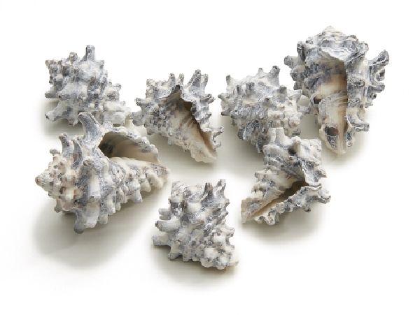 Muschel Cornigerum frosted SC9723 1kg