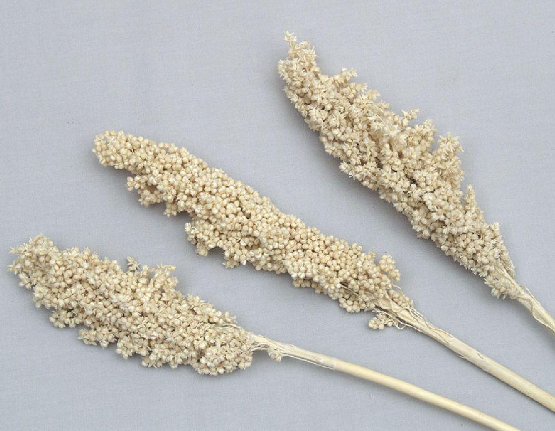 Indiankorn / Whith Corn GEBLEICHT 50 Stück
