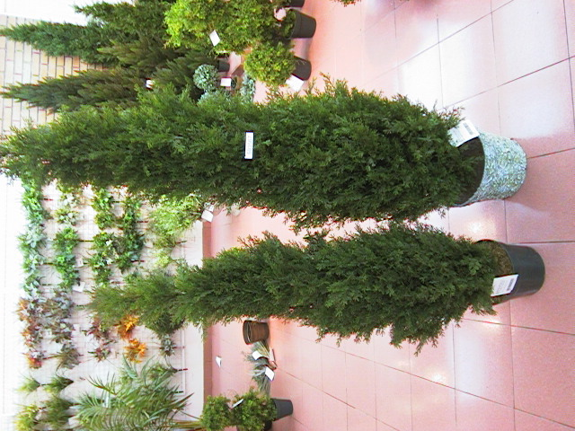 Ceder im Topf GRUEN        180cm, 2492 Zweige