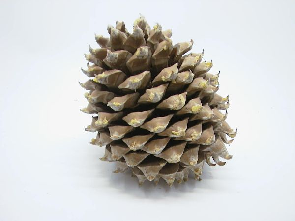 Zapfen Kaspatu Kiefer NATUR ca. 20 cm