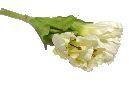 Tulpen CREME 150 30cm 15St.Btl.